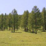 Древесина лиственницы сибирской: свойства, применение
