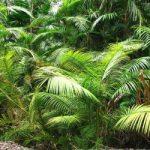 Древесина финиковой пальмы