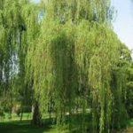 Древесина ивы: свойства и применение