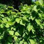 Древесина лещины или орешника