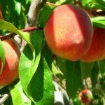 Древесина персика